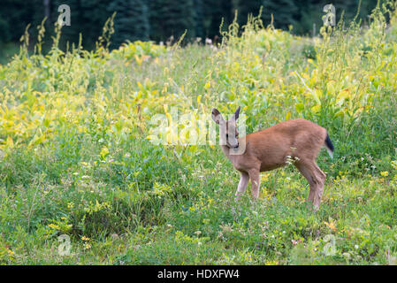 Mule deer in Mt. Rainier National Park, Washington. - Stock Photo