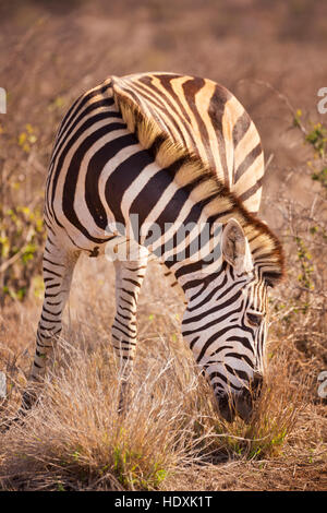 A grazing Burchell's zebra in Kruger National Park in South Africa. - Stock Photo