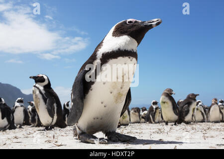 African Penguin ( Spheniscus demersus ) Betty's Bay, Western Cape, South Africa - Stock Photo