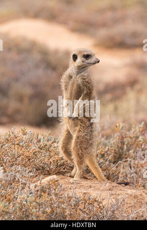 One wild meerkat ( Suricata suricatta ) looking out, Oudsthoorn, the Karoo, South Africa - Stock Photo