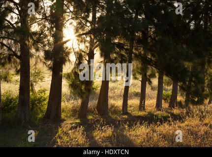 Morning sunlight shining through pine trees, South Africa - Stock Photo
