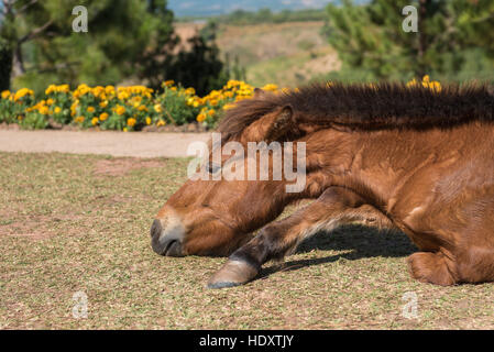Horse on nature.It sleep on the floor look beautiful portrait face a brown horse - Stock Photo