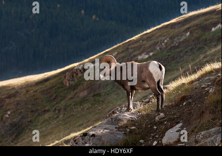 Rocky Mountain Bighorn Sheep ram - Stock Photo