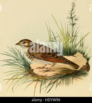 Illustrations of Indian ornithology - containing fifty figures of new, unfigured and interesting species of birds, chiefly from the south of India (1847)