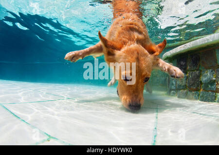 Underwater funny photo of golden labrador retriever dog in swimming pool play with fun - jumping, diving deep down. - Stock Photo