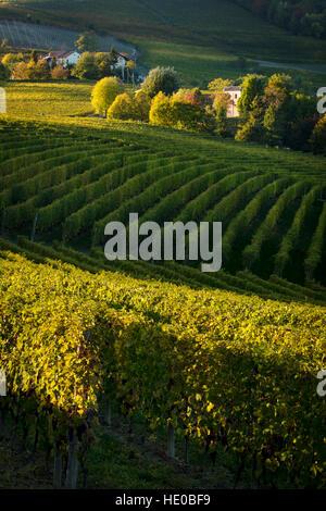 Autumn evening sunlight on the vineyards near Barolo, Piemonte, Italy
