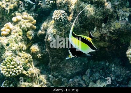 Moorish Idol swimming in coral reef - Stock Photo