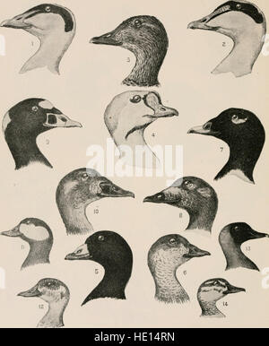 The birds of eastern North America - known to occur east of the ninetieth meridian (1899) - Stock Photo