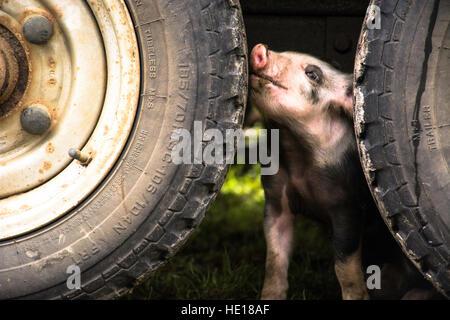 a curious little piggy - Stock Photo