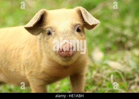 Cute piglet face - Stock Photo