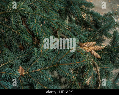 Four cones growing on green spruce branches - Stock Photo