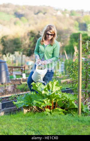 A woman uses a watering can to water a rhubarb plant in a city allotment - Stock Photo