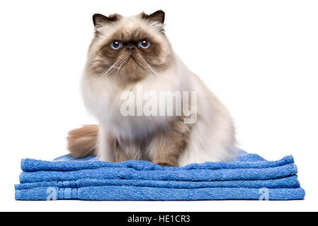 Cute groomed young persian seal colourpoint cat after bath is sitting on a blue towel - Stock Photo