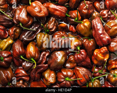 Lot of Habanero Chocolate peppers in the water. - Stock Photo