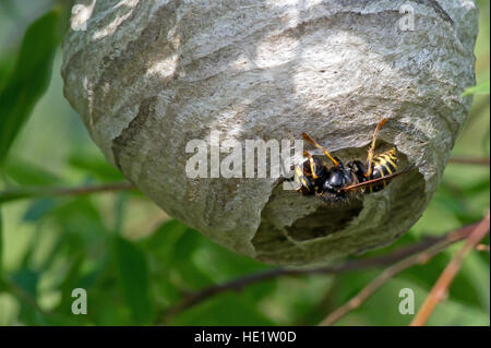 Wasp (Vespula vulgaris) the building worker forming the paper edge with chewed wood fibre mixed with saliva. - Stock Photo