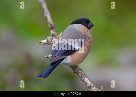 Common bullfinch / Eurasian bullfinch (Pyrrhula pyrrhula) female perched in tree - Stock Photo