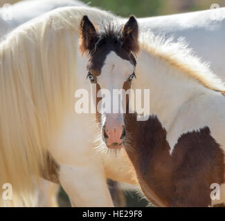 Gypsy Vanner Horse filly foal - Stock Photo