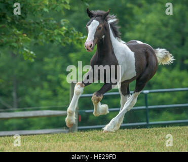 Gypsy Vanner horse weanling foal - Stock Photo
