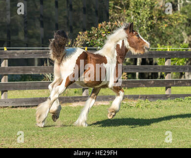Gypsy Vanner Horse weanling filly - Stock Photo