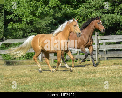 Thoroughbred and Tennessee Walking Horse geldings - Stock Photo
