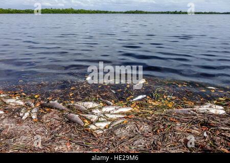 Sanibel Island Florida J. N. J.N. JN Ding Darling National Wildlife Refuge red tide dead fish Sanibel Bayou - Stock Photo