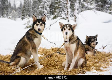 Husky dogs, Dog sledding in Vindelfjällen, Sweden - Stock Photo