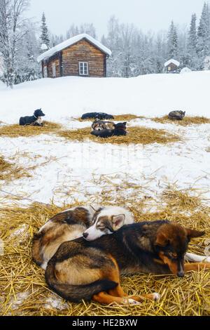 Husky dogs bedded down for the night, Dog sledding in Vindelfjällen, Sweden - Stock Photo