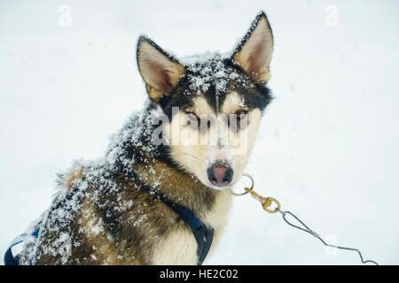 Husky dog, Dog sledding in Vindelfjällen, Sweden - Stock Photo