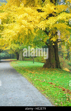 Gingko biloba with golden leaves in autumn season - Stock Photo