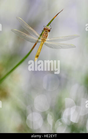 Young Spotted Darter dragonfly sitting on a plant - Stock Photo