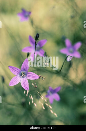 Wild bell flowers in a meadow - Stock Photo
