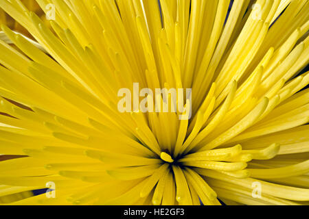 Macro of the center of a yellow flower with multiple petals stock washington close up look at a yellow dahlia mightylinksfo