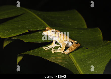 File-eared Tree Frog, Polypedates otilophus, on leaf at night - Stock Photo
