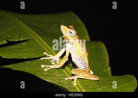 File-eared Tree Frog, Polypedates otilophus, on leaf at night having consumed a Jade Tree Frog, Rhacophorus dulitensis, - Stock Photo