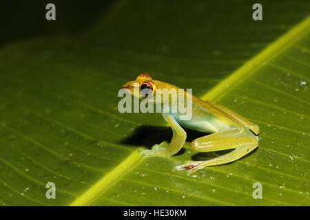 Jade Tree Frog, Rhacophorus dulitensis, at night - Stock Photo