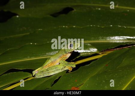 Wallace's Flying Frog, Rhacophorus nigropalmatus - Stock Photo