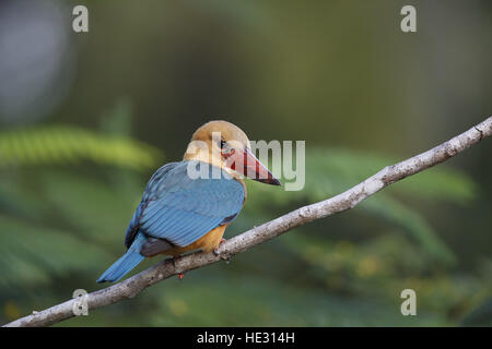 Stork-billed Kingfisher, Pelargopsis capensis, on hunting perch - Stock Photo