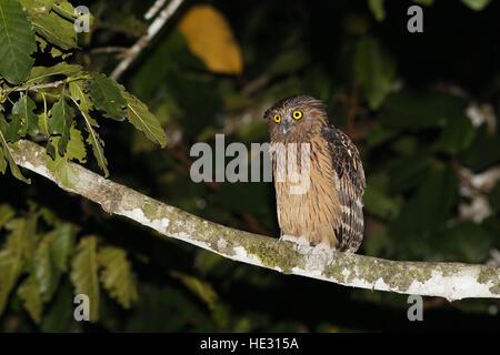 Buffy Fish-Owl, Ketupa ketupa at fishing perch - Stock Photo