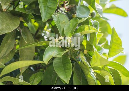 Unripe oranges growing on the tree - Stock Photo