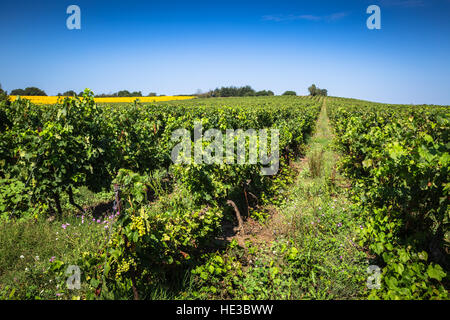 The vineyards along the famous wine route in Alsace, France - Stock Photo