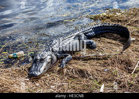 Everglades Florida Alligator Alley American alligator Alligator mississippiensis resting sunning plastic bottle - Stock Photo