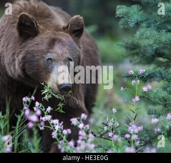 American Black Bear (Ursus americanus) eating flowers - Stock Photo