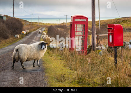 Black face ewe sheep on single track road by telephone and post box on the road to Uisken, Isle of Mull. Inner Hebrides, - Stock Photo