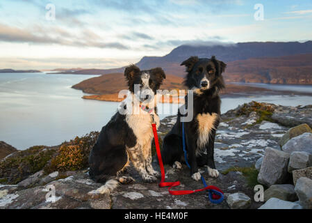Two Scottish Collie sheepdogs in the Highlands, Ullapool, Scotland. - Stock Photo