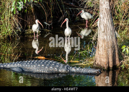 Florida The Everglades Tamiami Trail Fakahatchee Strand State Preserve American Alligator mississippiensis white - Stock Photo