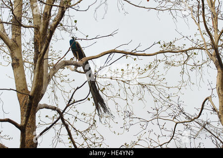 Male full grown peacock - peafowl sitting on a dried tree branch, feathers hanging - Stock Photo