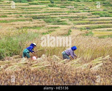 YUANYANG, CHINA - SEPTEMBER 19, 2014: women collect autumn rice harvest at Yuanyang rice terraces, Yunnan province, - Stock Photo