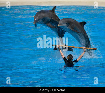 Dolphin show, common or Atlantic bottlenose dolphins (Tursiops truncatus) jumping, Loro Parque, Puerto de la Cruz, - Stock Photo