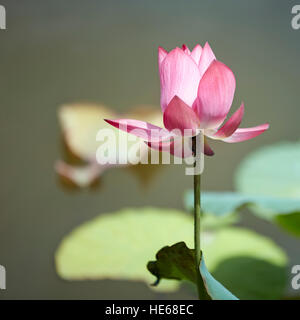 Lotus flower on the Trung Minh Lake. Tomb of Minh Mang, Hue, Vietnam. - Stock Photo