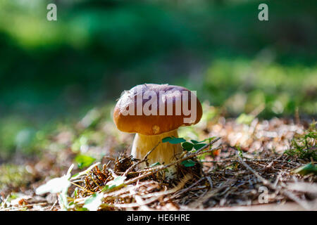 Mushroom - Boletus edulis (Penny Bun) - Stock Photo
